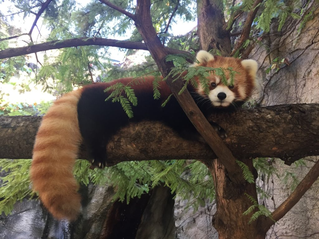 Leafa the red panda