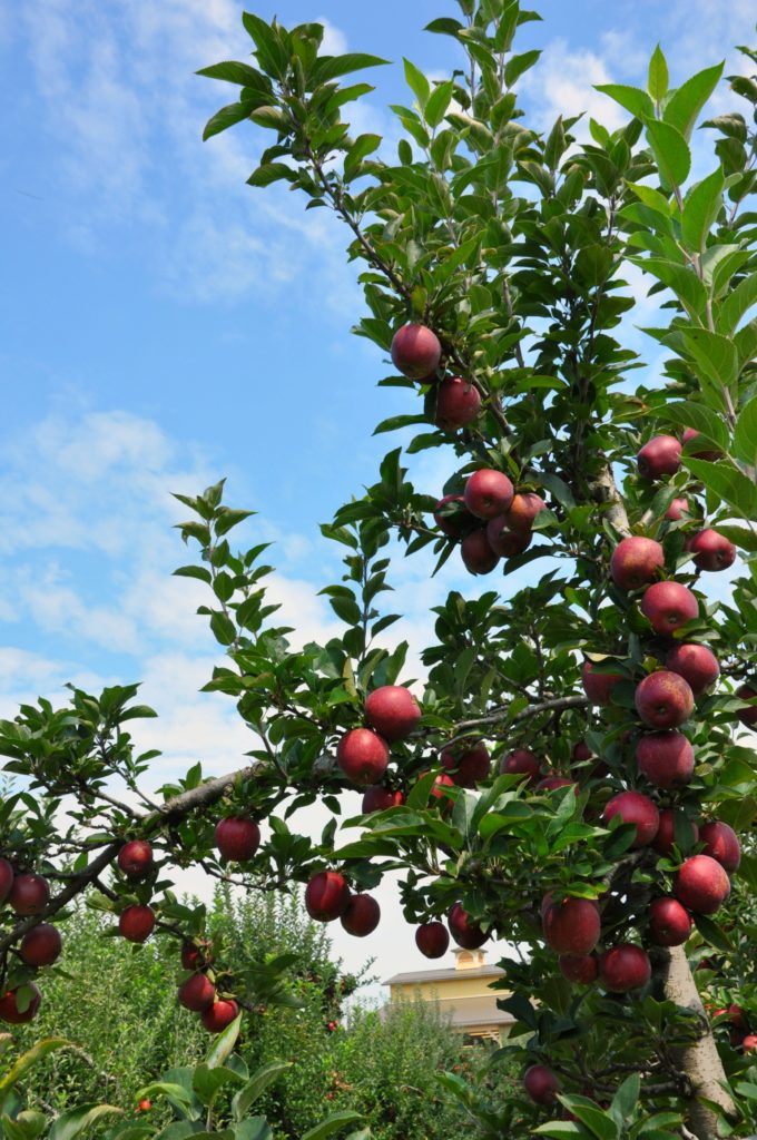 Apple Orchards of Henderson County