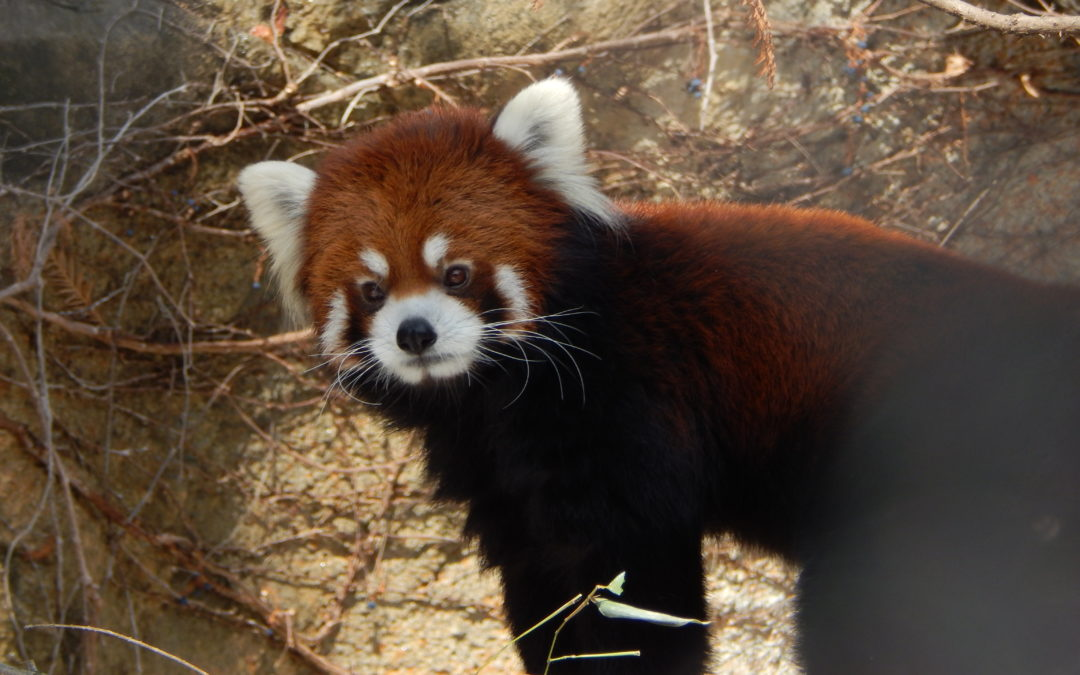 WNC Nature Center Opens New Red Panda Exhibit