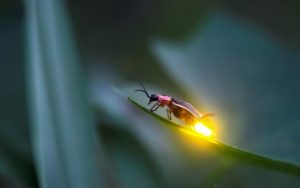 Firefly Twlight Tour @ Cradle of Forestry Heritage Site | Pisgah Forest | North Carolina | United States